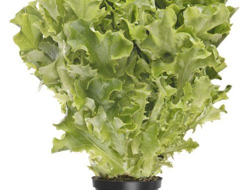 Kartanon salaatti