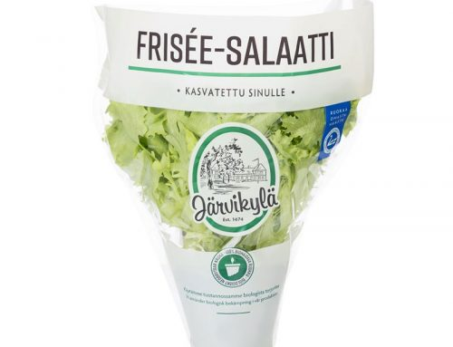 Frisée-salaatti
